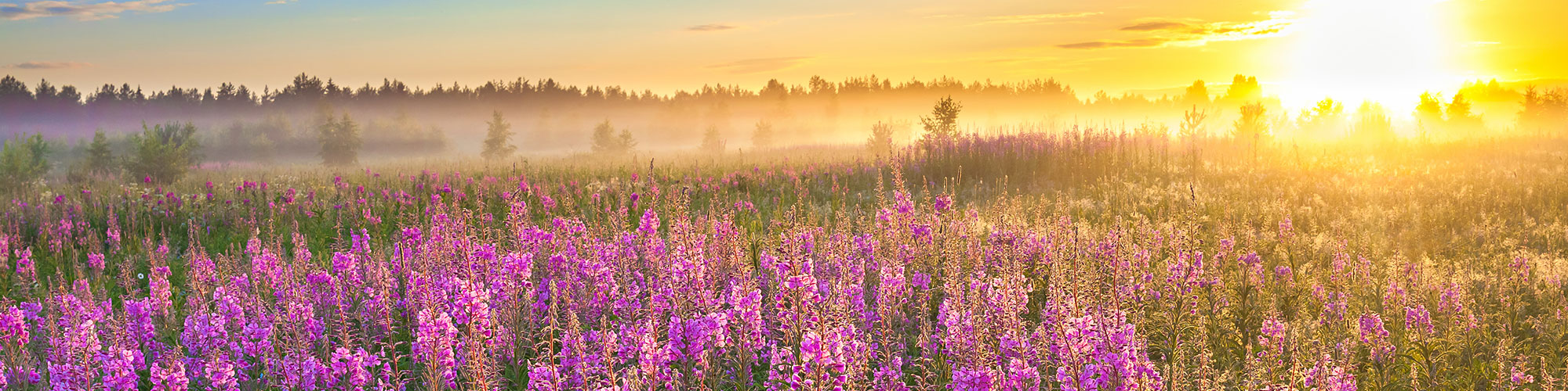 Purple Flowers and Sunrise